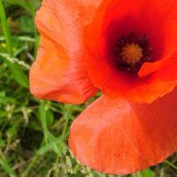 Blumen_Mohn013
