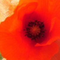 Blumen_Mohn014