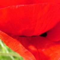 Blumen_Mohn016
