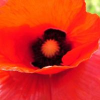 Blumen_Mohn019