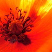 Blumen_Mohn027