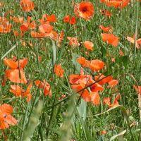 Blumen_Mohn053