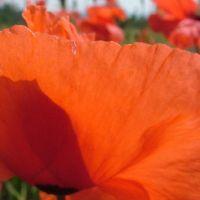 Blumen_Mohn062
