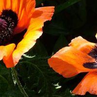 Blumen_Mohn098