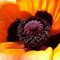 Blumen_Mohn099