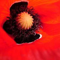 Blumen_Mohn116